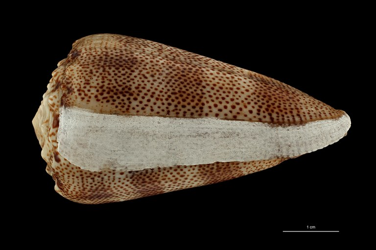 BE-RBINS-INV HOLOTYPE MT 2529 Conus arenatus var. aequipunctata LATERAL ZS PMax Scaled.jpg