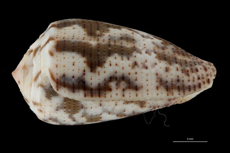 BE-RBINS-INV LECTOTYPE MT 392 Conus decurtatus LATERAL ZS PMax Scaled.jpg