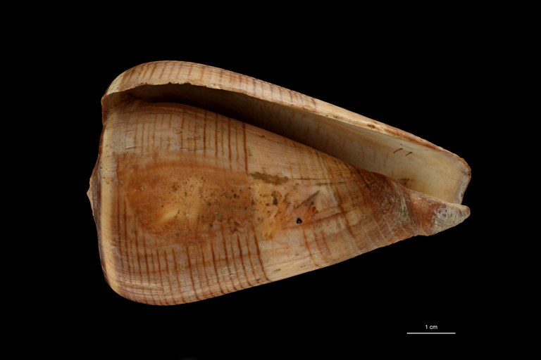 BE-RBINS-INV HOLOTYPE MT.2532 Conus figulinus var. insignis VENTRAL ZS PMax Scaled.jpg
