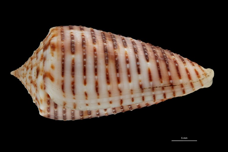 BE-RBINS-INV HOLOTYPE MT 464 Conus (Phasmoconus) proximus cebuensis LATERAL ZS PMax Scaled.jpg