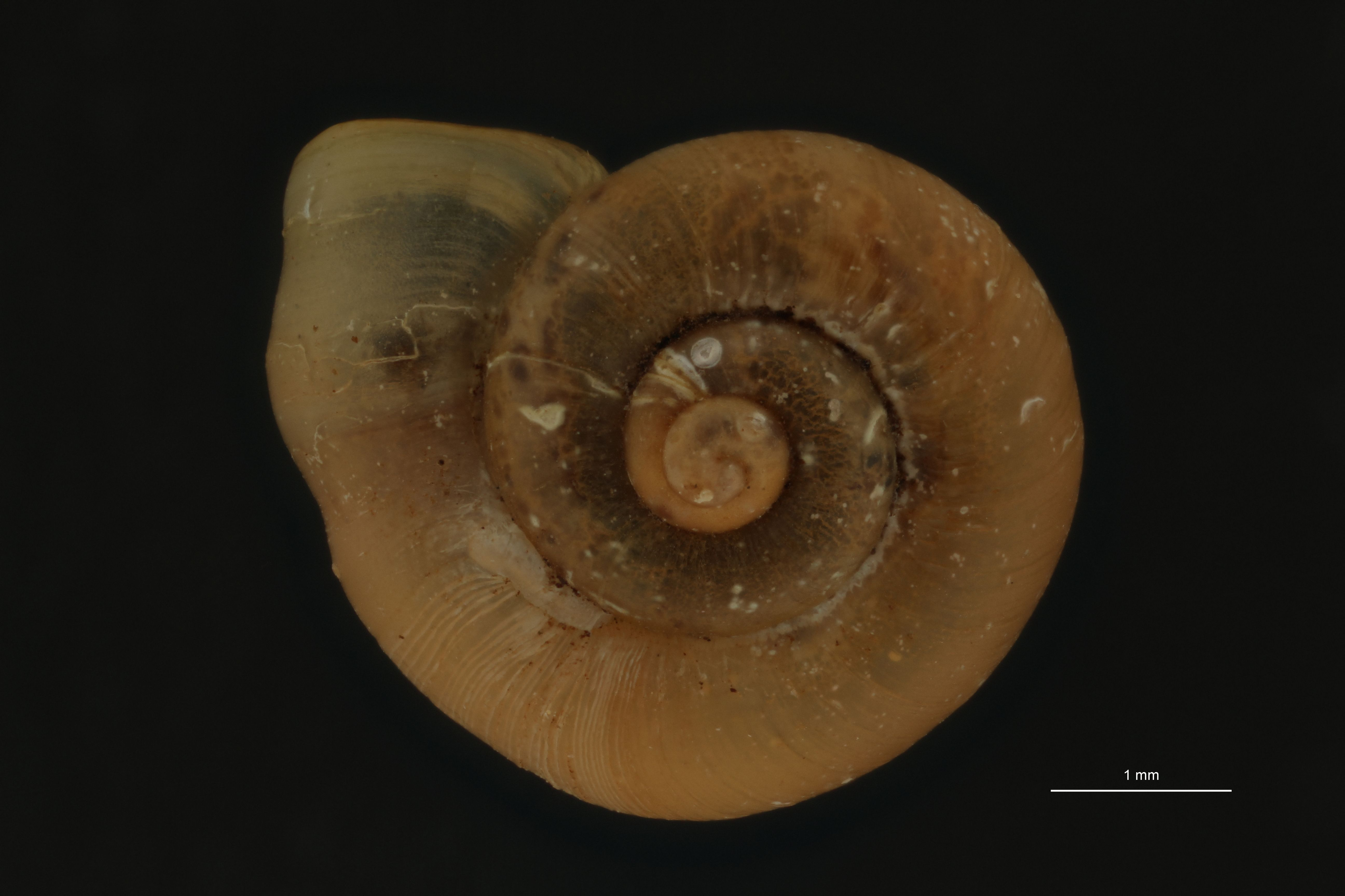 BE-RBINS-INV PARATYPE MT 1001 Alycaeus laevis LATERAL.jpg