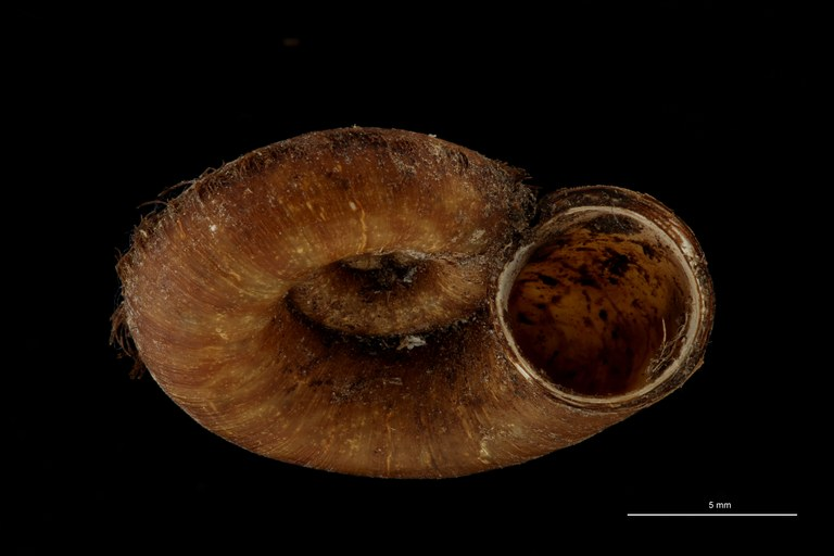 BE-RBINS-INV TYPE MT 576 Scabrina ambigua LATERAL ZS PMax Scaled.jpg