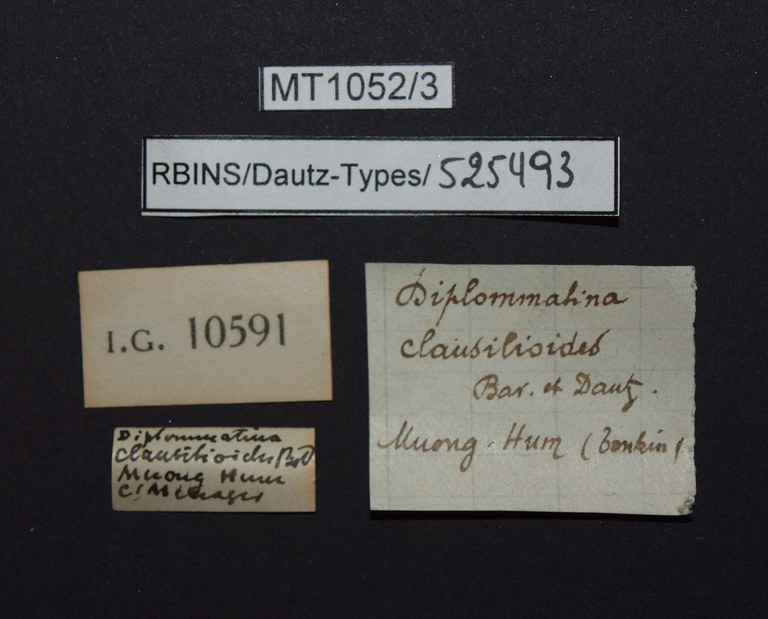 BE-RBINS-INV PARATYPE MT.1052/3 Diplommatina clausilioides LABELS.jpg