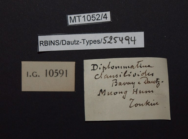 BE-RBINS-INV PARATYPE MT.1052/4 Diplommatina clausilioides LABELS.jpg