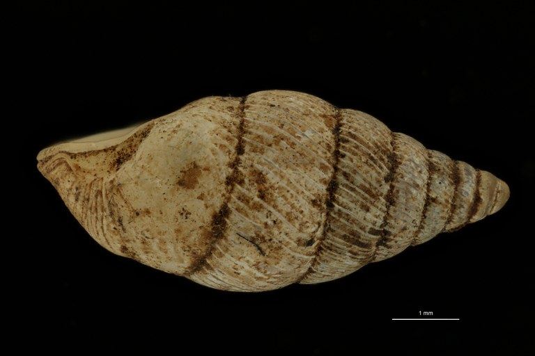 BE-RBINS-INV PARATYPE MT.1052/4 Diplommatina clausilioides LATERAL.jpg