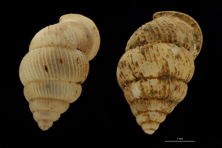 BE-RBINS-INV PARATYPE MT 1049 Diplommatina bifissurata GROUPE.jpg