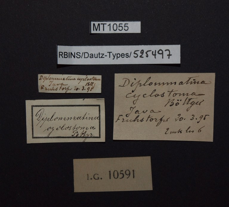 BE-RBINS-INV PARATYPE MT 1055 Diplommatina (Sinica) cyclostoma LABELS.jpg