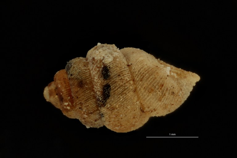 BE-RBINS-INV PARATYPE MT 1055 Diplommatina (Sinica) cyclostoma LATERAL.jpg