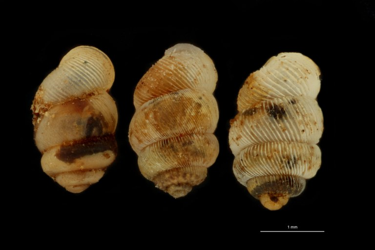 BE-RBINS-INV PARATYPE MT 1063 Diplommatina gedeana GROUPE.jpg