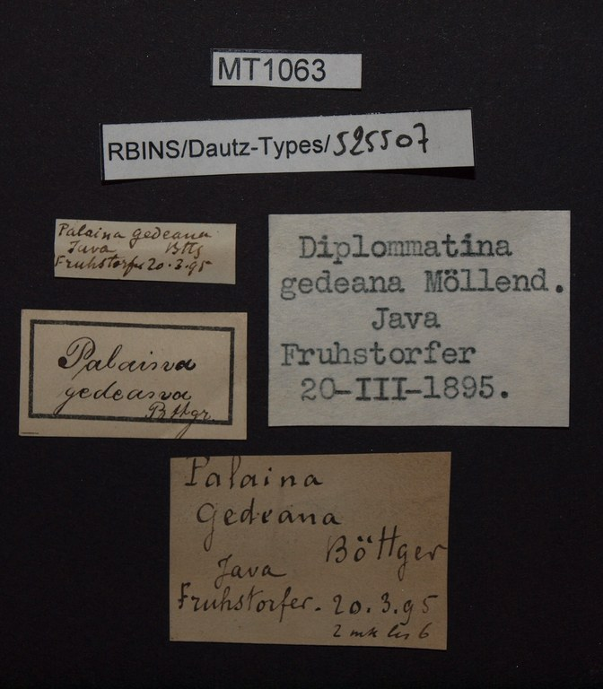 BE-RBINS-INV PARATYPE MT 1063 Diplommatina gedeana LABELS.jpg