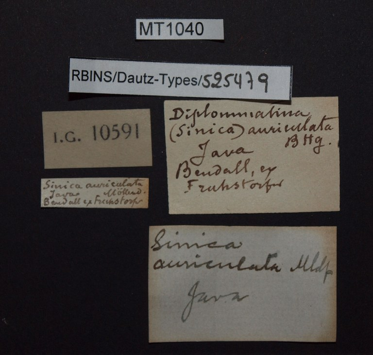 BE-RBINS-INV PARATYPE MT 1040 Diplommatina (Sinica) auriculata LABELS.jpg