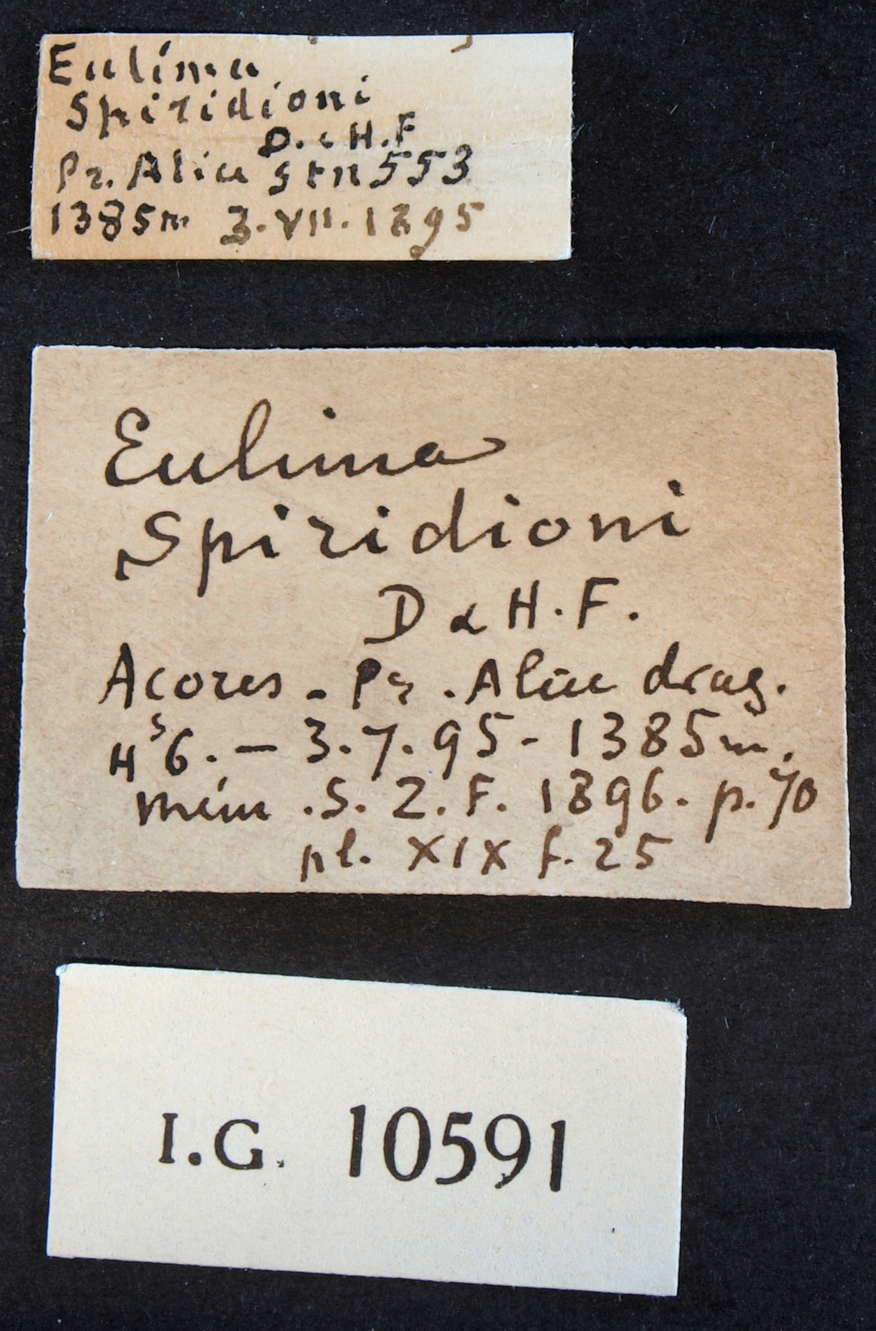 BE-RBINS-INV PARALECTOTYPE MT.3233/3 Eulima spiridioni LABELSb.jpg