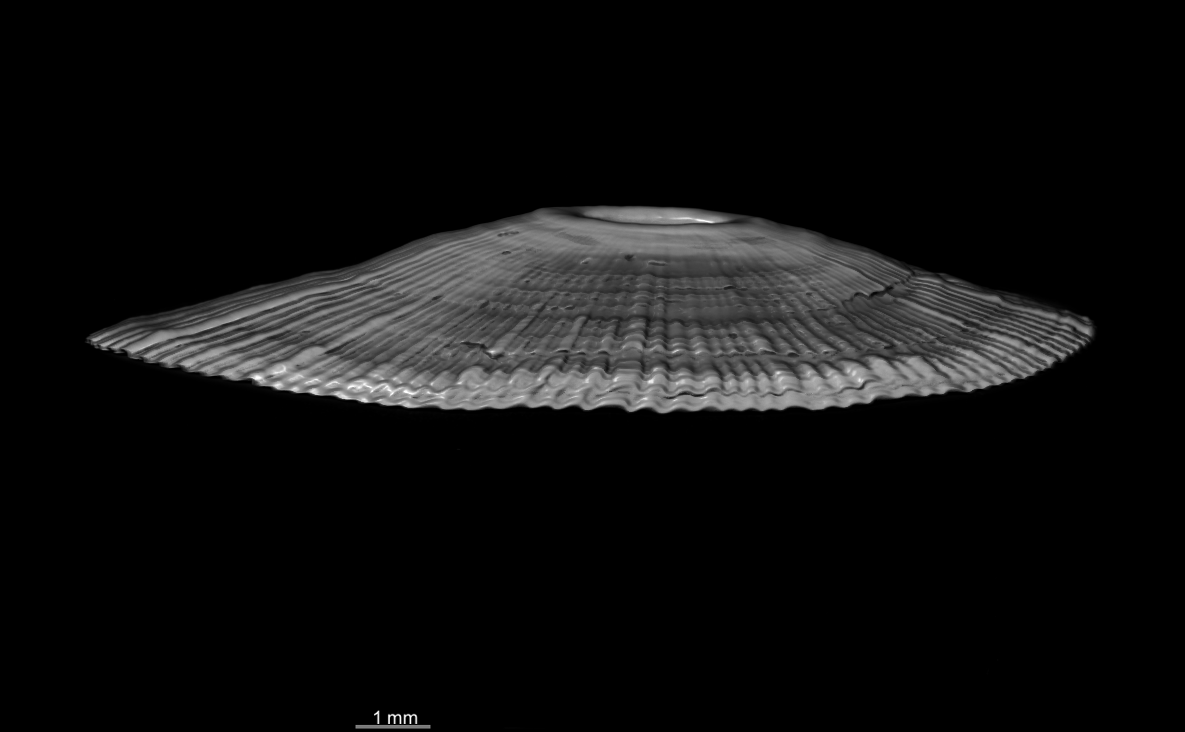 BE-RBINS-INV HOLOTYPE MT 2 Lucapinella versluysi LATERAL BW MCT XRE.jpg