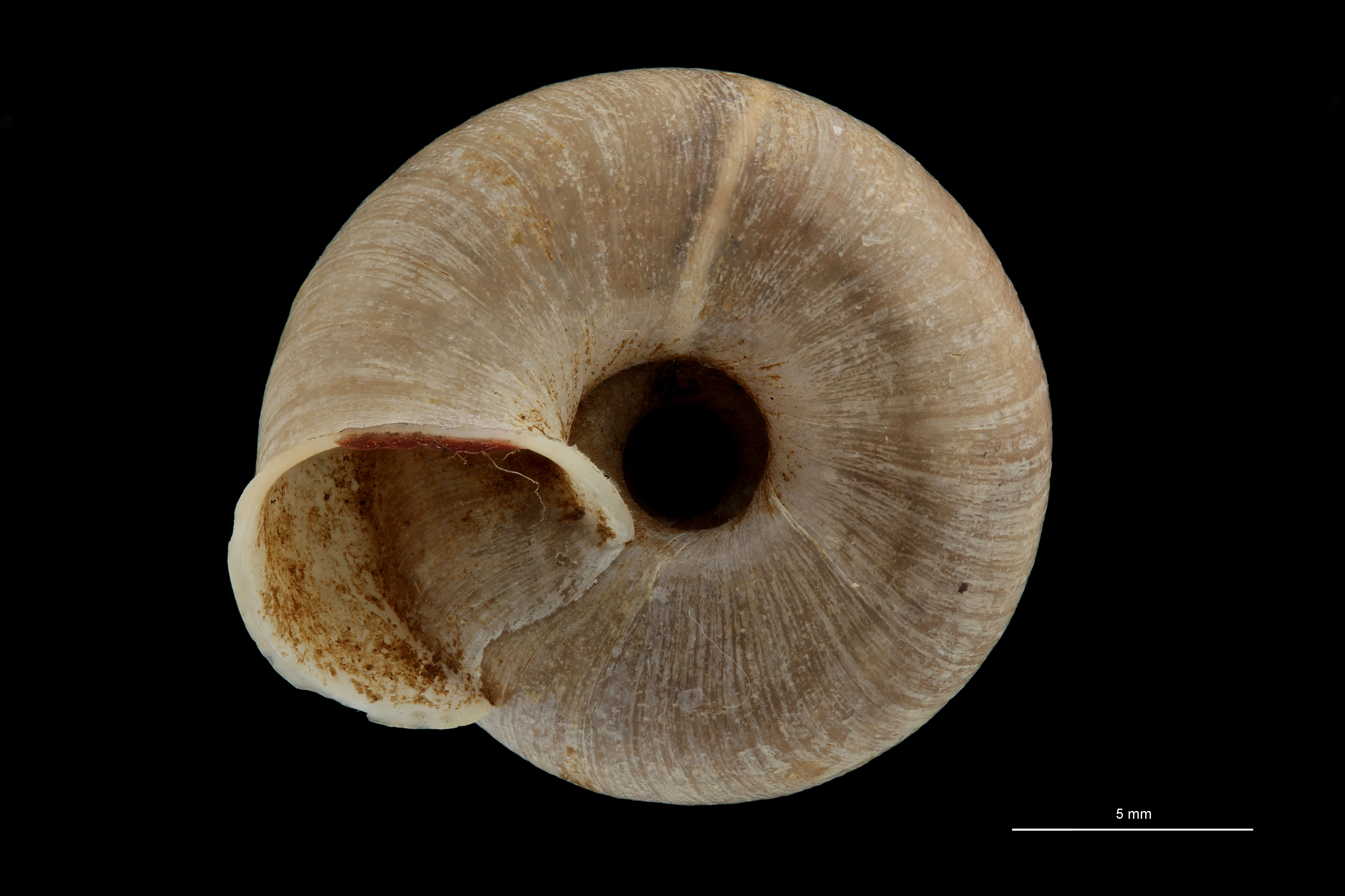 BE-RBINS-INV TYPE MT 718 Helix (Plectotropis) gitaena VENTRAL ZS PMax Scaled.jpg