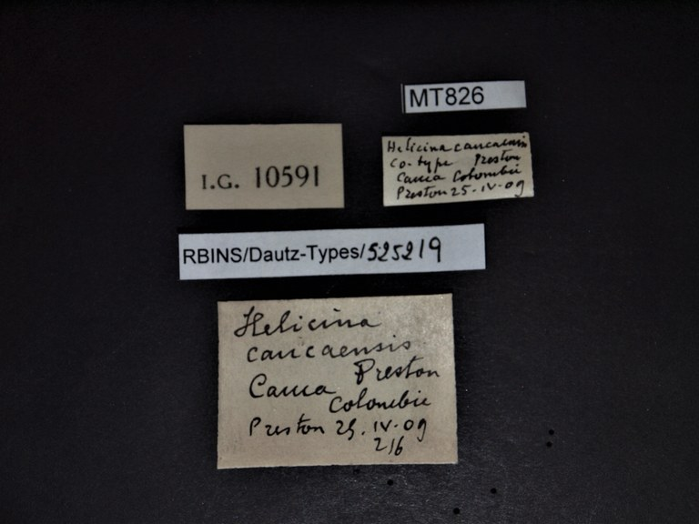 BE-RBINS-INV PARATYPE MT 826 Helicina caucaensis LABELS.pg