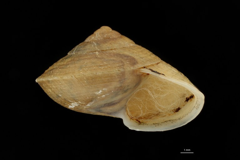 BE-RBINS-INV HOLOTYPE MT 42 Helicina lirifera LATERAL ZS DMap Scaled.jpg