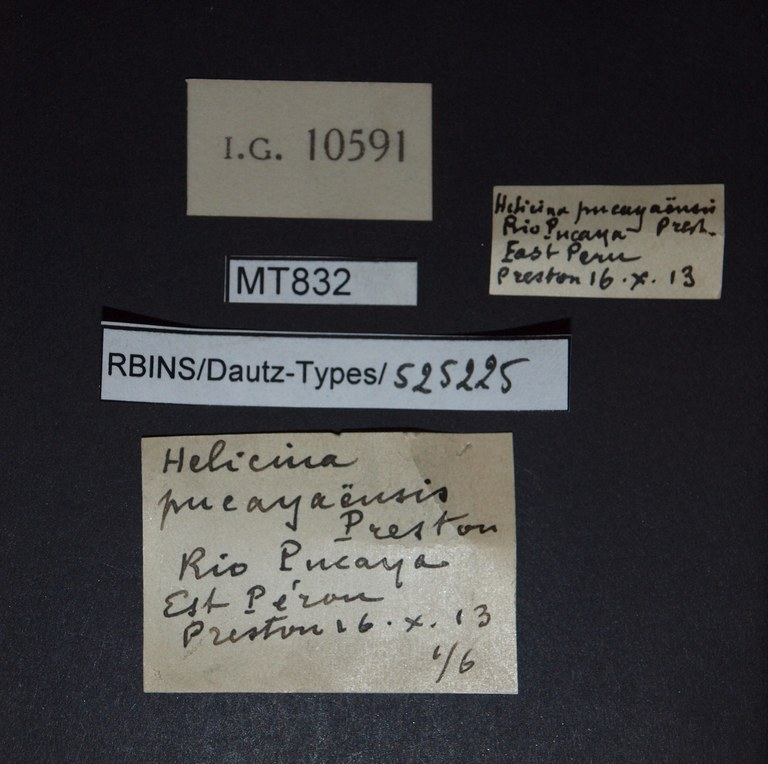 BE-RBINS-INV PARATYPE MT 832 Helicina pucayaensis LABELS.jpg