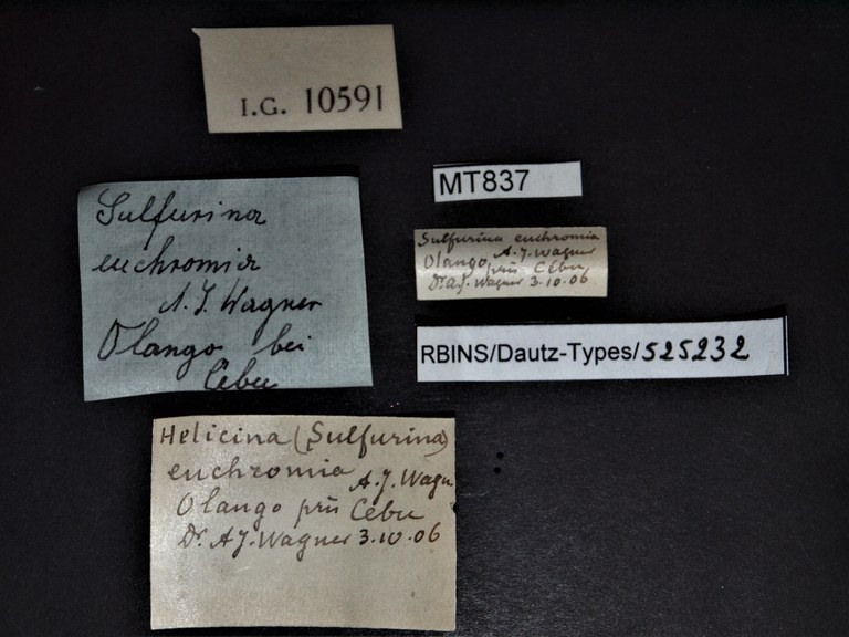 BE-RBINS-INV PARATYPE MT 837 Helicina (Sulfurina) euchromia LABELS.jpg