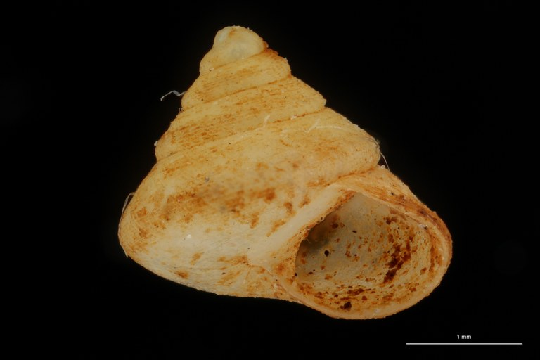 BE-RBINS-INV HOLOTYPE MT 41 Trochatella simpsoni LATERAL ZS DMap Scaled.jpg