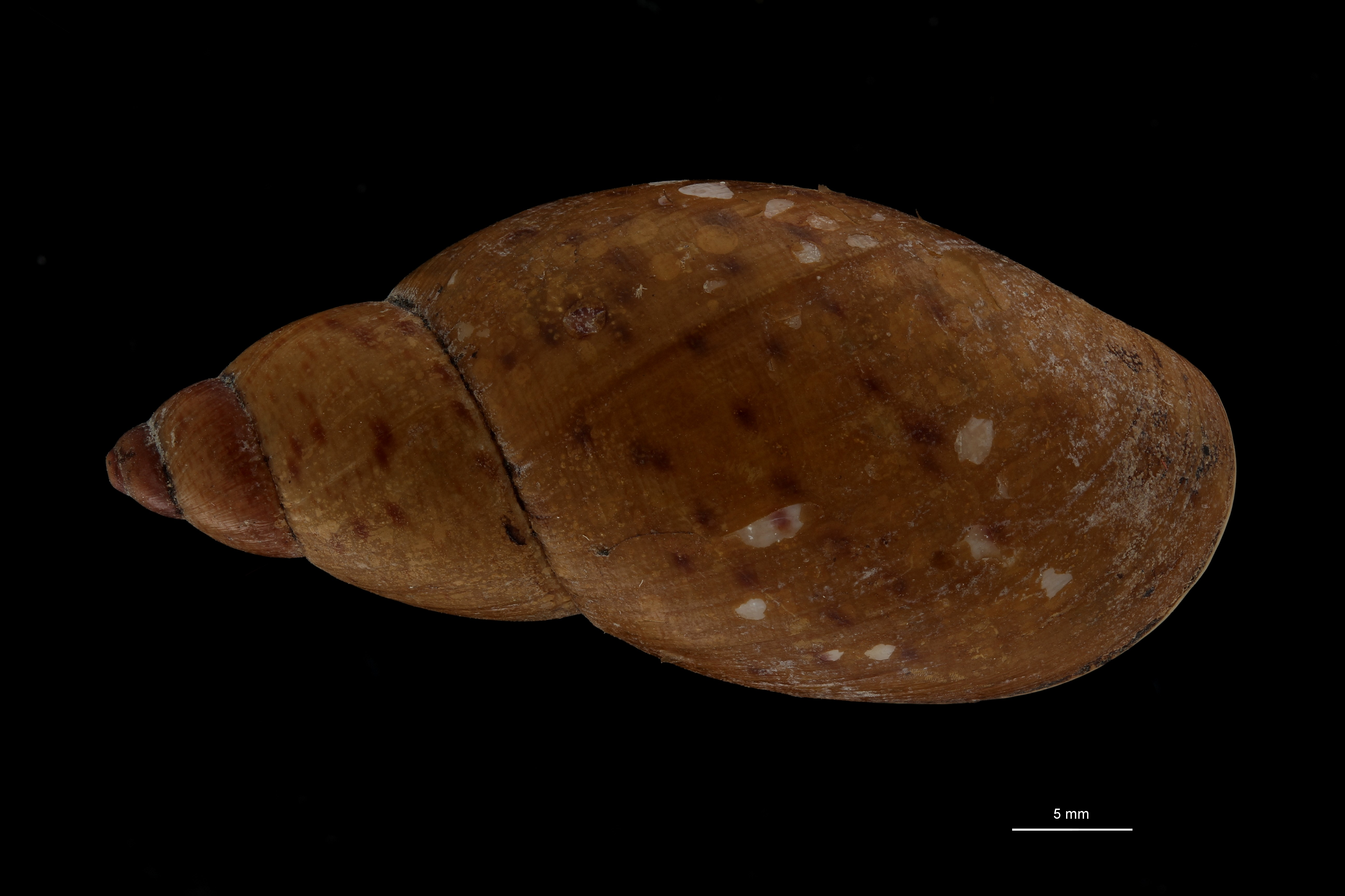 BE-RBINS-INV MT 692 Bulimus huancabambensis Type D ZS PMax Scaled.jpg