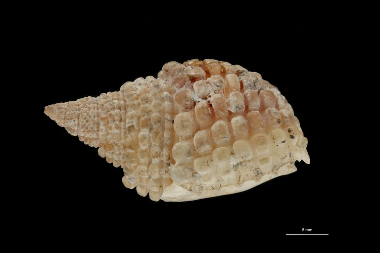 BE-RBINS-INV HOLOTYPE MT 228 Nassa (Niotha) labordei LATERAL ZS DMap Scaled.jpg