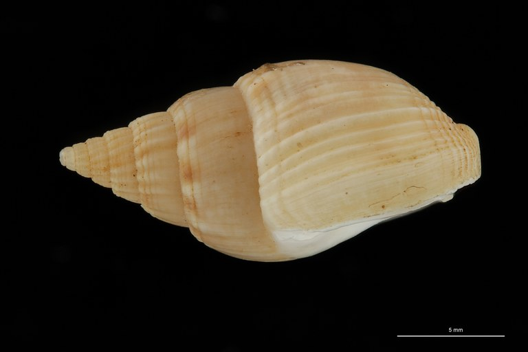 BE-RBINS-INV HOLOTYPE MT 102 Nassa soror LATERAL ZS DMap Scaled.jpg