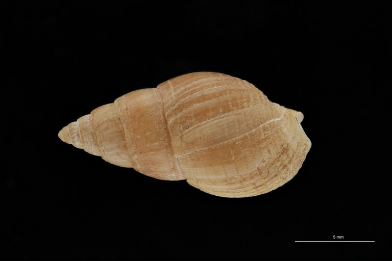 BE-RBINS-INV HYPOTYPE MT 234 Nassarius cabrierensis ovoideus DORSAL ZS PMax Scaled.jpg