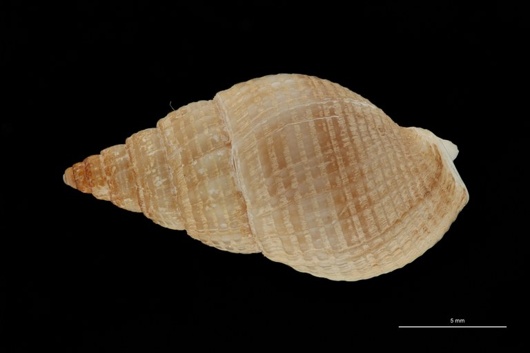 BE-RBINS-INV HYPOTYPE MT 235 Nassarius cabrierensis ovoideus DORSAL ZS PMax Scaled.jpg