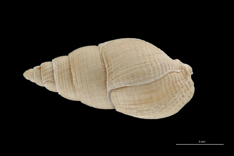 BE-RBINS-INV HYPOTYPE MT 236 Nassarius cabrierensis ovoideus DORSAL ZS PMax Scaled.jpg