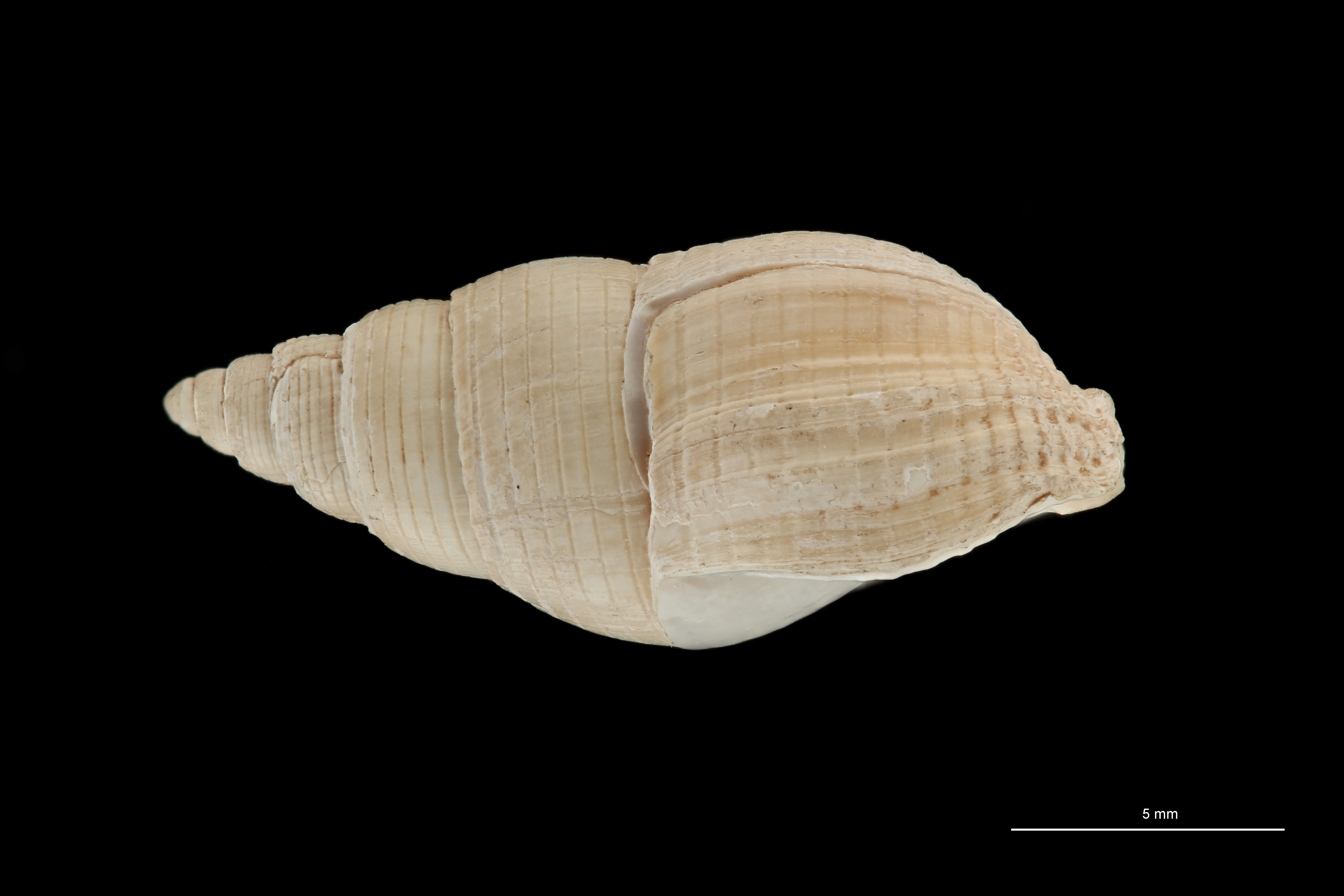 BE-RBINS-INV HYPOTYPE MT 236 Nassarius cabrierensis ovoideus LATERAL ZS PMax Scaled.jpg