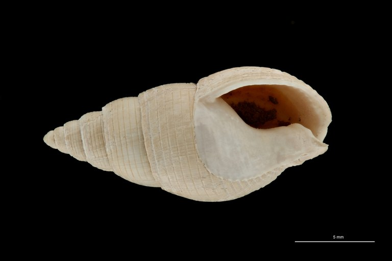 BE-RBINS-INV HYPOTYPE MT 236 Nassarius cabrierensis ovoideus VENTRAL ZS PMax Scaled.jpg