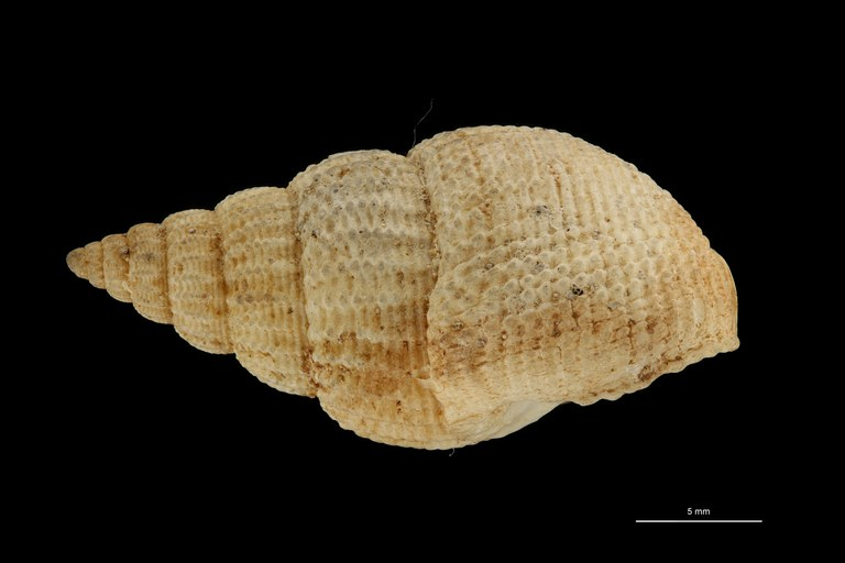 BE-RBINS-INV HYPOTYPE MT 241 Nassarius denticulatus LATERAL ZS DMap Scaled.jpg