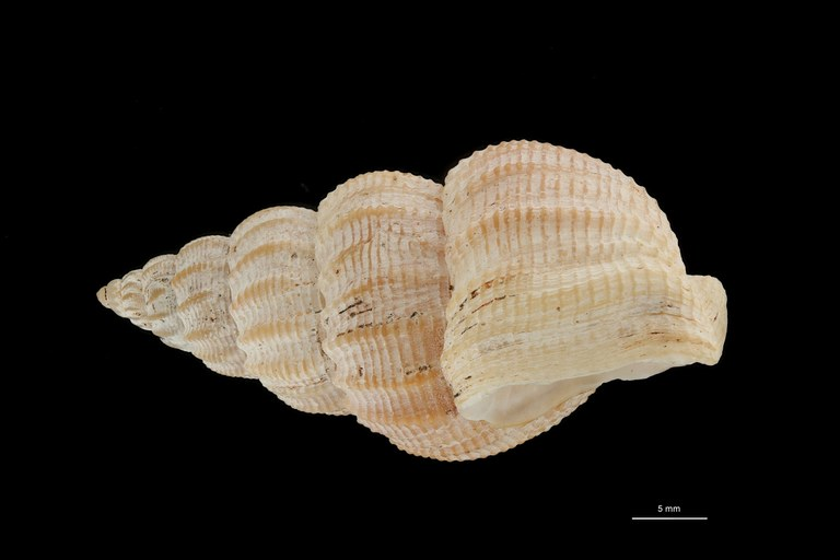 BE-RBINS-INV HYPOTYPE MT 242 Nassarius (Nassarius) limatus LATERAL ZS DMap Scaled.jpg