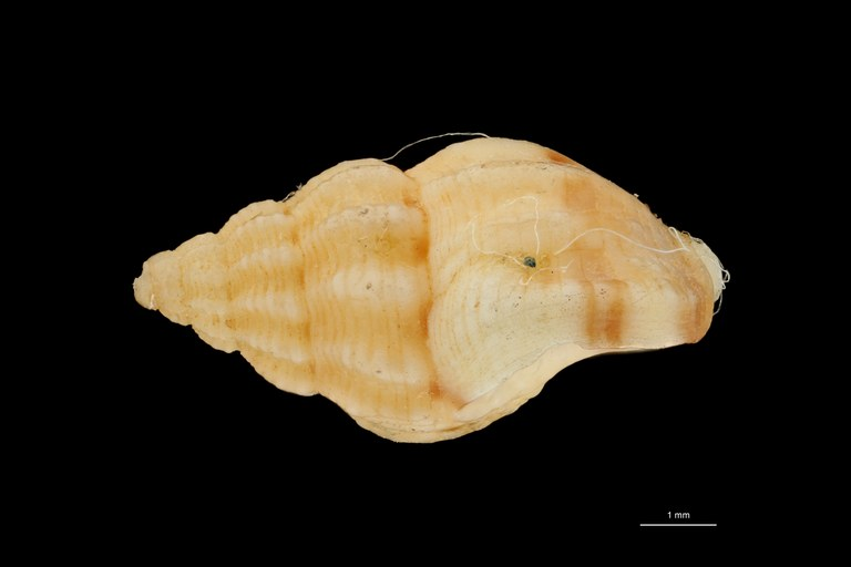 BE-RBINS-INV HOLOTYPE MT 423 Nassarius pseudopoecilostictus LATERAL ZS PMax Scaled.jpg