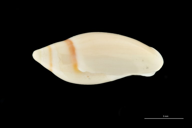 BE-RBINS-INV HOLOTYPE MT 409 Ancilla (Sparella) adelphe LATERAL ZS PMax Scaled.jpg