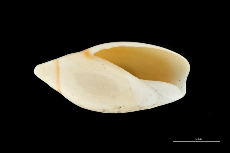 BE-RBINS-INV HOLOTYPE MT 409 Ancilla (Sparella) adelphe VENTRAL ZS PMax Scaled.jpg