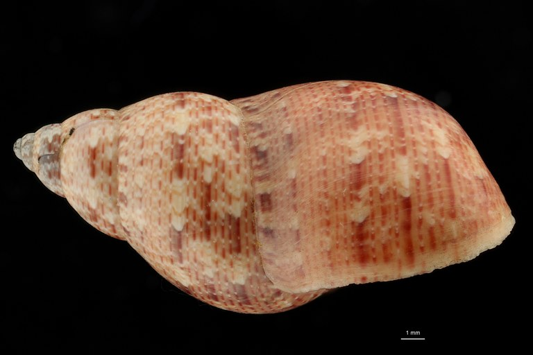 BE-RBINS-INV HOLOTYPE MT 40 Phasianella montebelloensis LATERAL ZS DMap Scaled.jpg