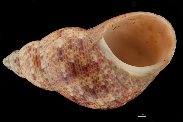 BE-RBINS-INV HOLOTYPE MT 40 Phasianella montebelloensis VENTRAL ZS DMap Scaled.jpg