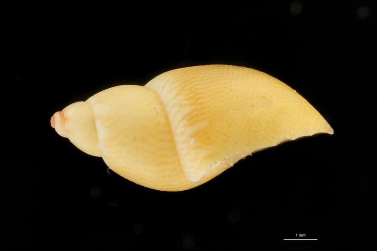 BE-RBINS-INV HOLOTYPE MT 38 Phasianella speciosa var. aurea LATERAL ZS DMap Scaled.jpg