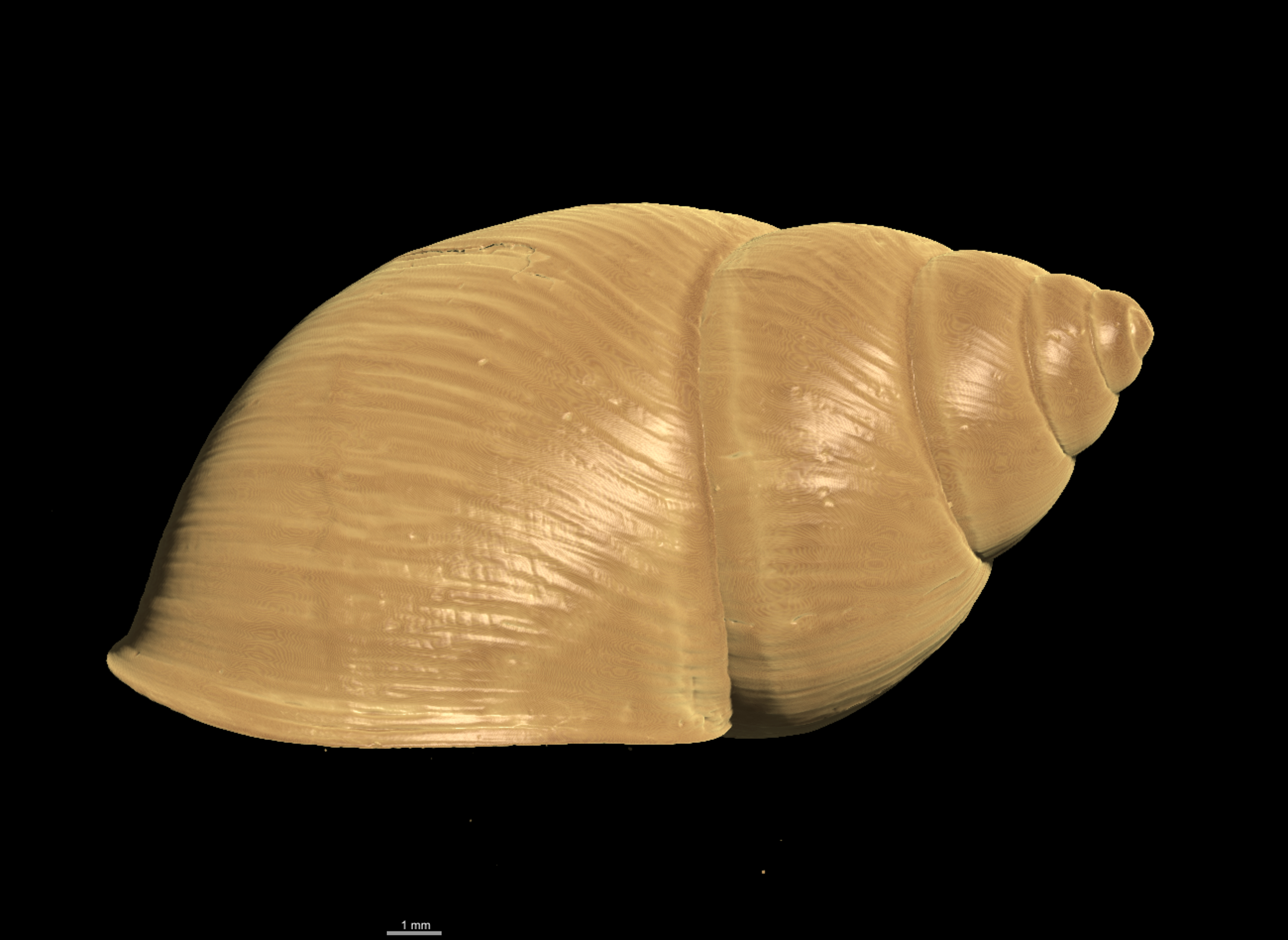 BE-RBINS-INV PARALECTOTYPE MT 2350 Bulimulus ephippium LATERAL MICROCT XRE.jpg