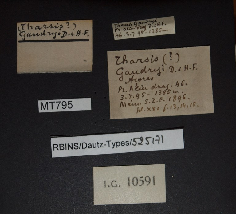 BE-RBINS-INV PARATYPE MT 795 Tharsis gaudryi LABELS.jpg