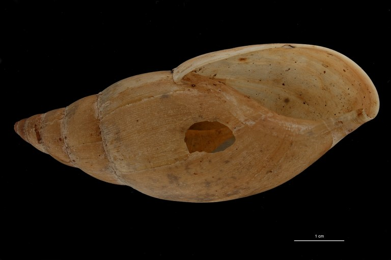 BE-RBINS-INV TYPE MT 659 Glandina chanchamayoensis VENTRAL ZS PMax Scaled.jpg
