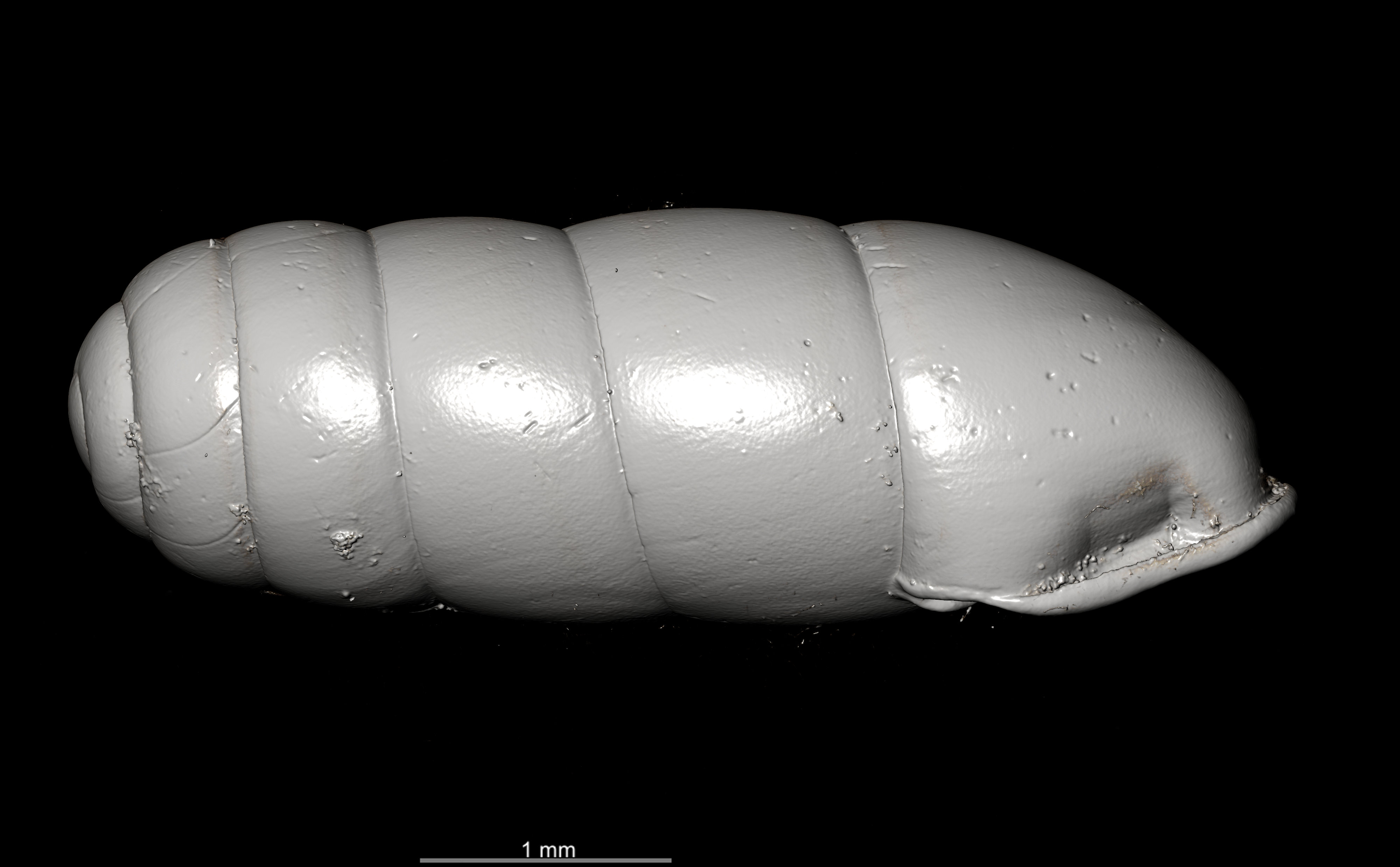 BE-RBINS-INV SYNTYPE MT.2862 Ennea gwendolinae MCT XRE RIGHT.jpg