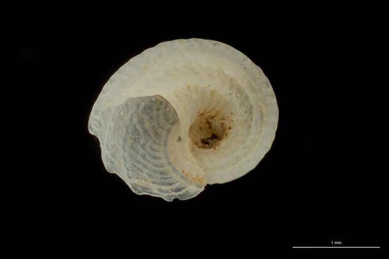 BE-RBINS-INV HYPOTYPE MT 77 Adeorbis subcarinatus VENTRAL ZS DMap.jpg