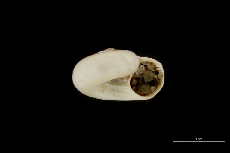BE-RBINS-INV PARAYPE MT 21 Circulus senegalensis LATERAL ZS DMap Scaled.jpg