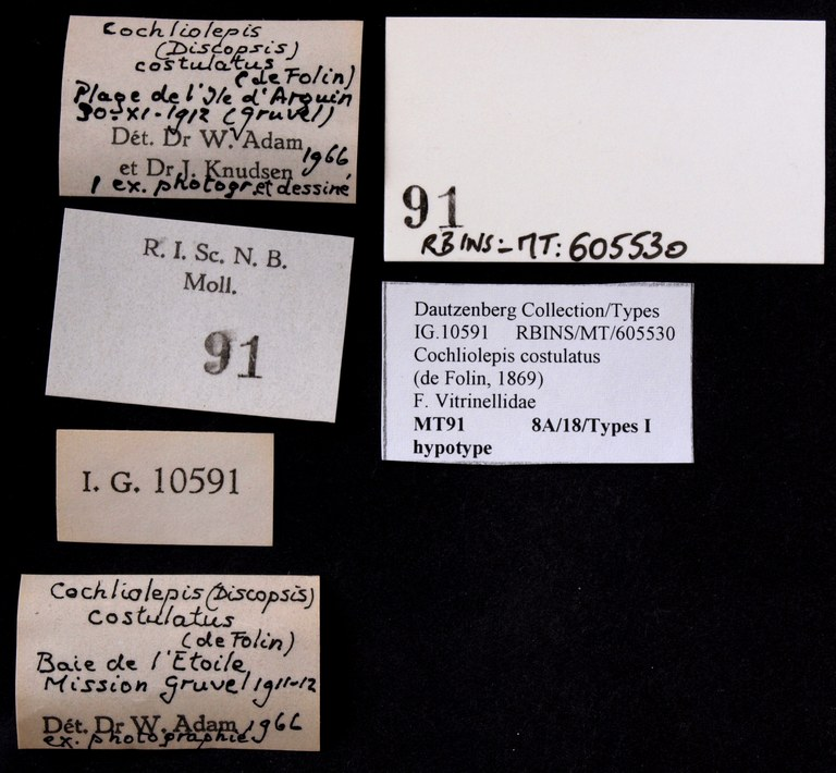 BE-RBINS-INV HYPOTYPE MT 91 Cochliolepis (Discopis) costulatus LABELS.jpg
