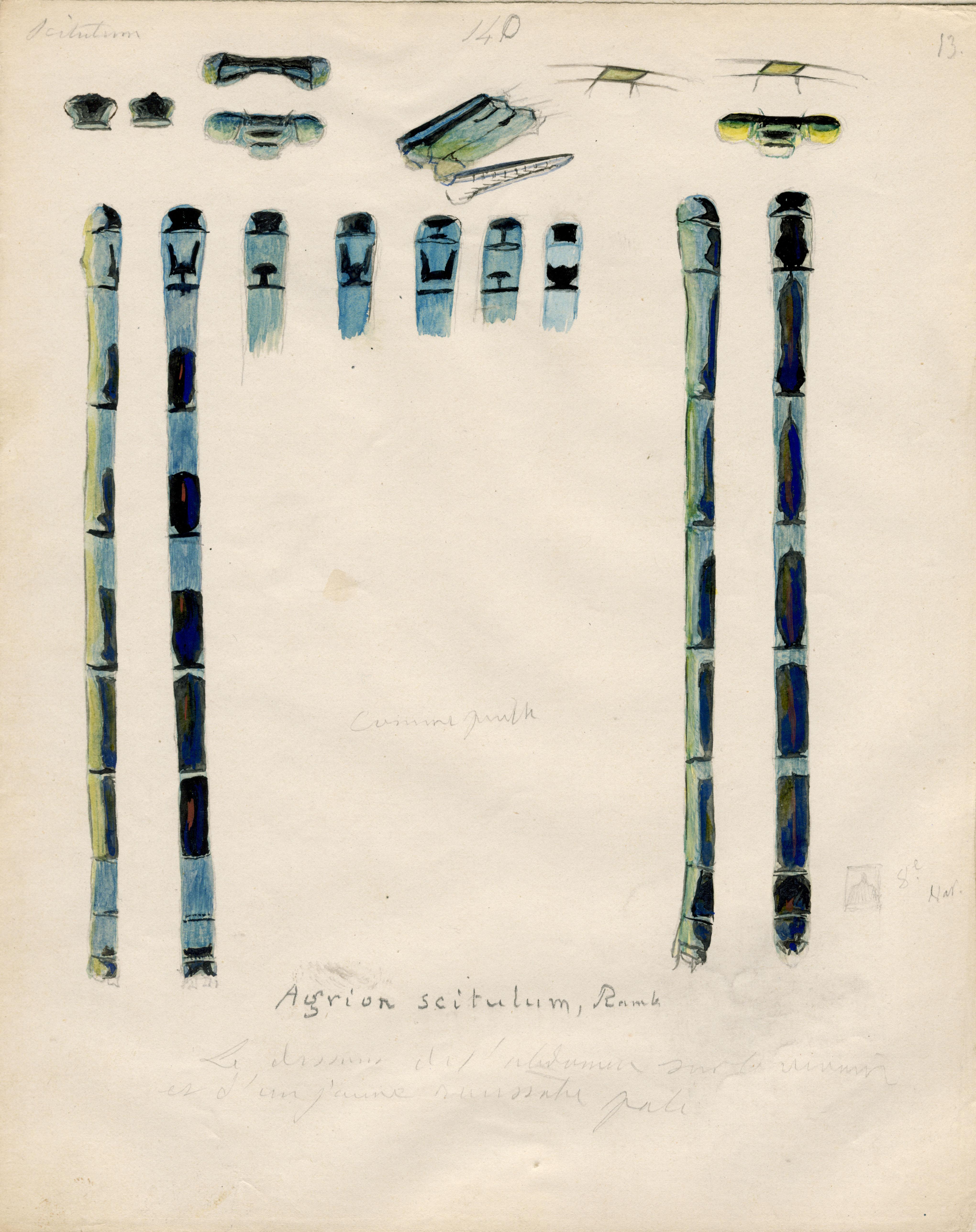 Agrion scitulum.jpg