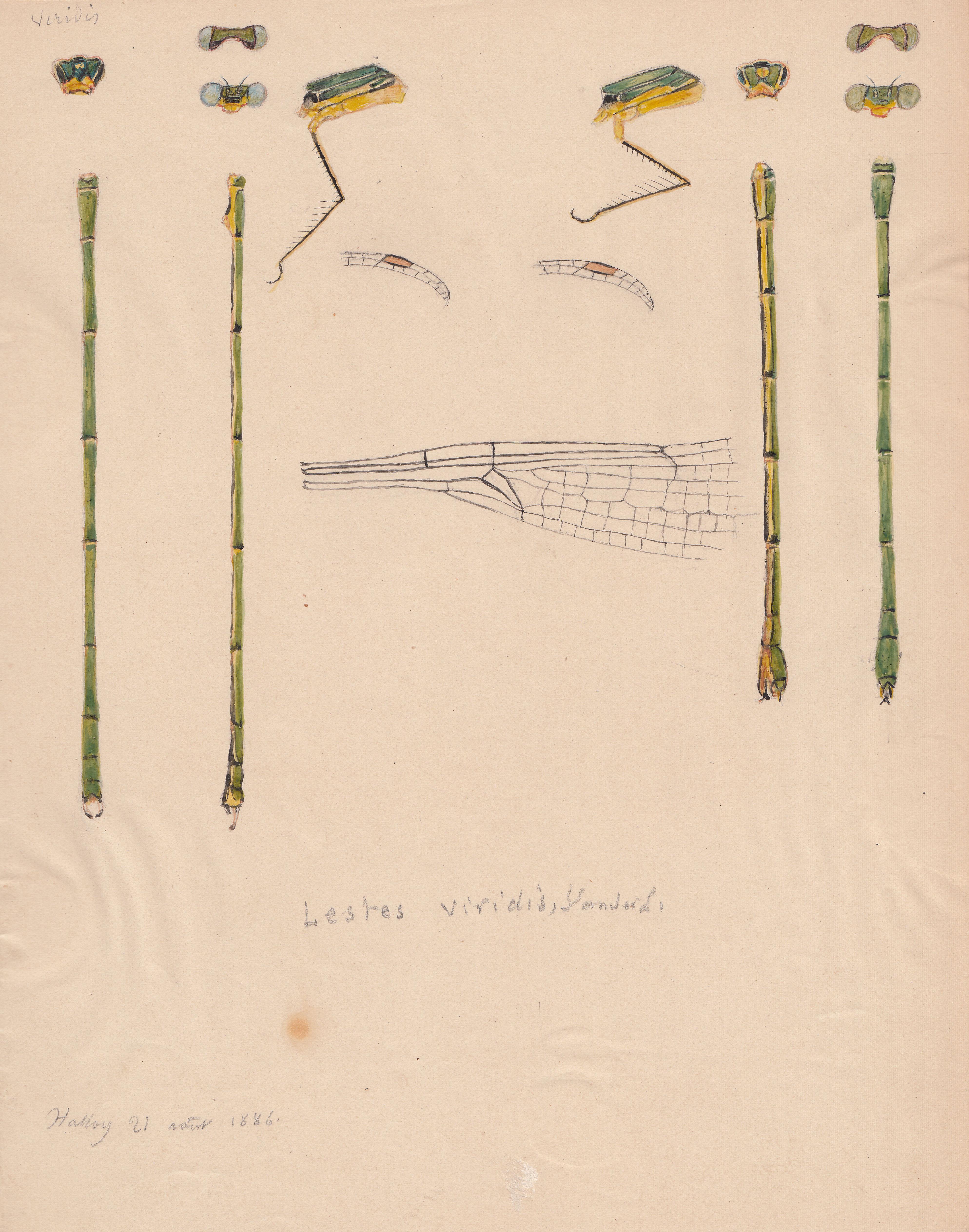 Lestes viridis.jpg