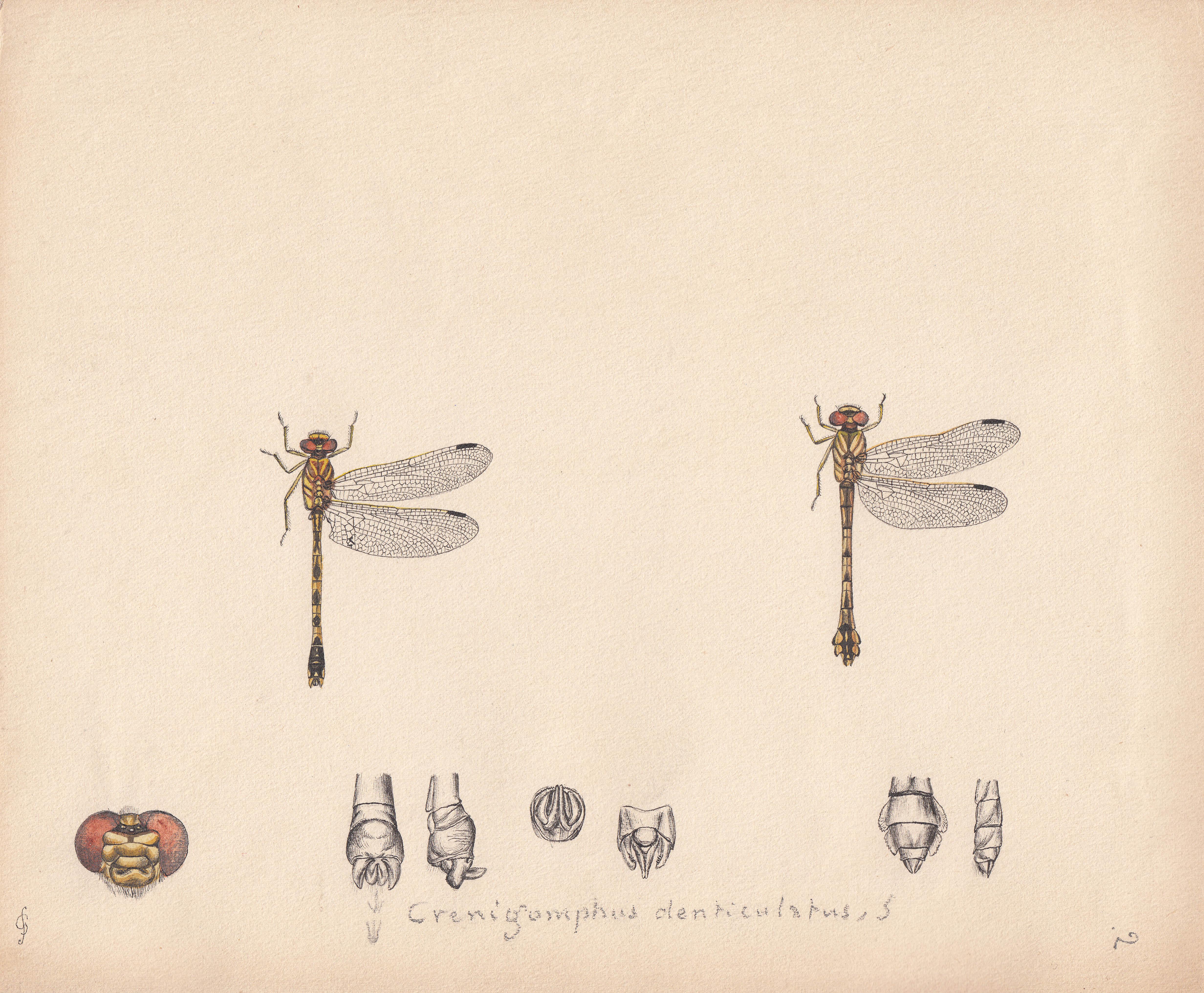 Crenigomphus denticulatus.jpg