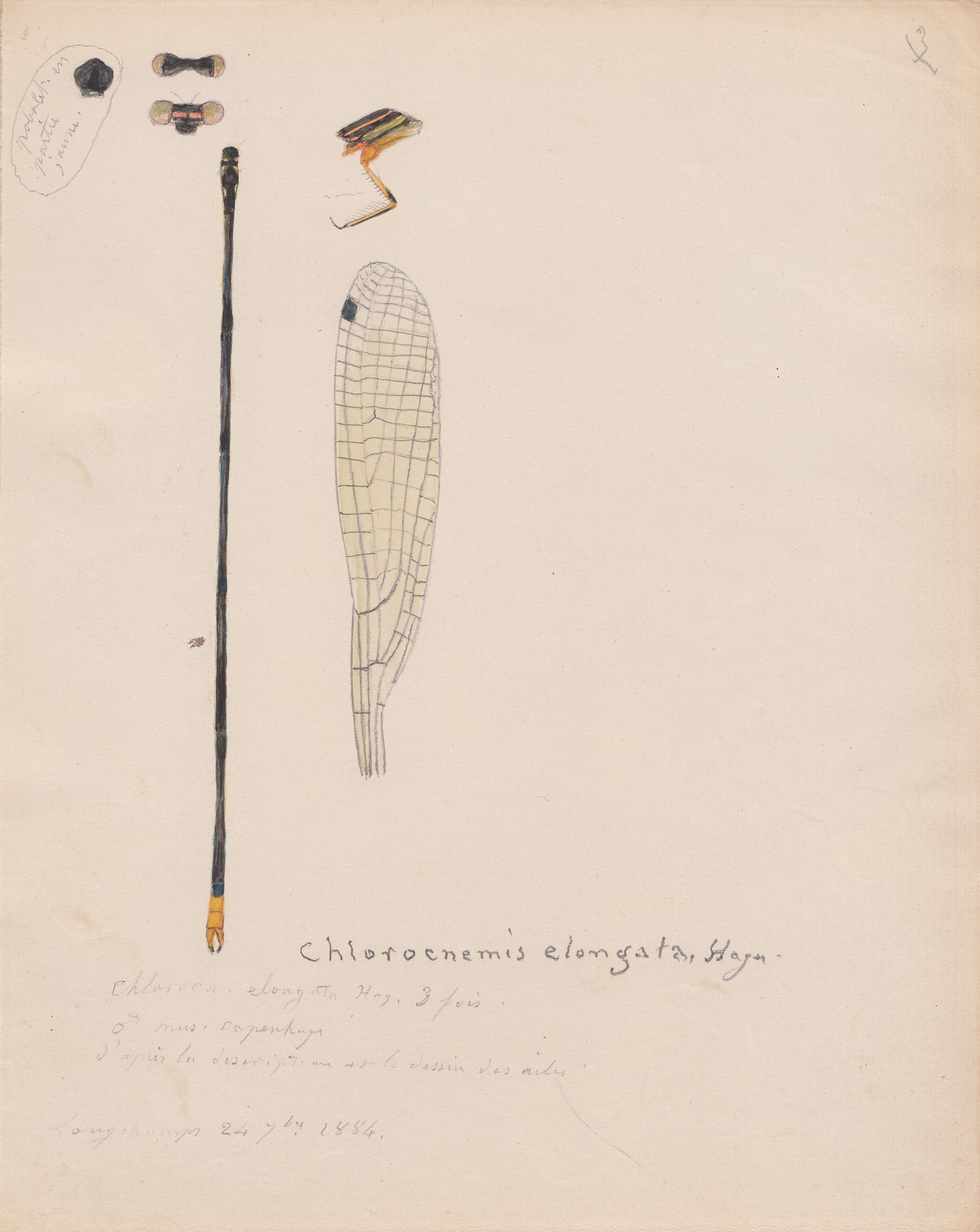 Chlorocnemis elongata.jpg